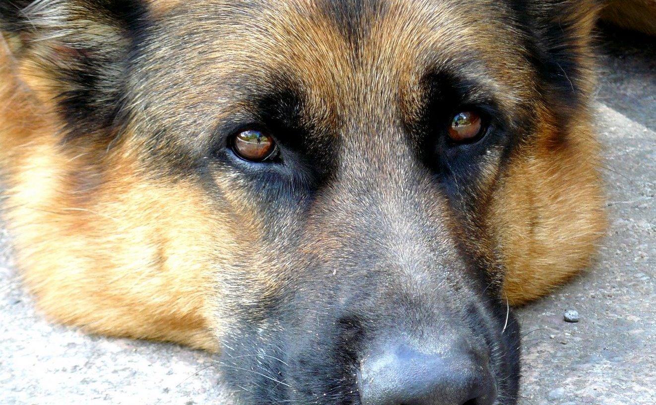 Dog flu makes for a sad dog