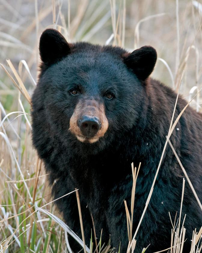 Adirondack Bear Tale #4: Donny Trees A Bear!