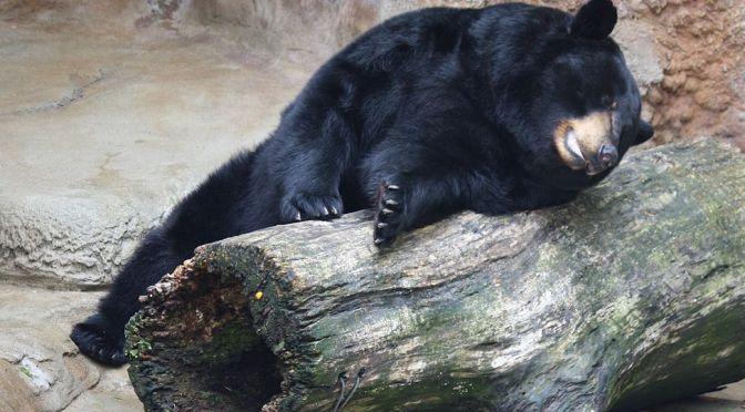 Adirondack Bear Tale #3: A Trip to the Dump!