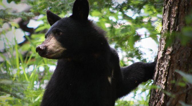Adirondack Bear Tale #6: Aunt Betty Swats a Bear