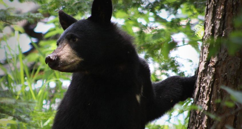 Aunt Betty swats a black bear