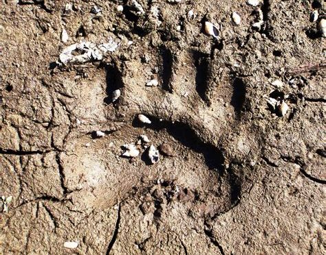 Adirondack Bear Tale #7: The Demise of Old Three-toes!