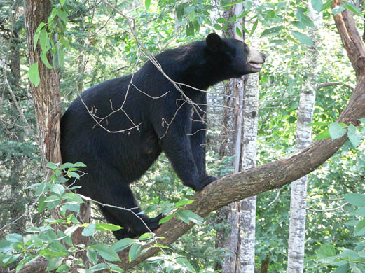 How to Survive a Black Bear Attack!