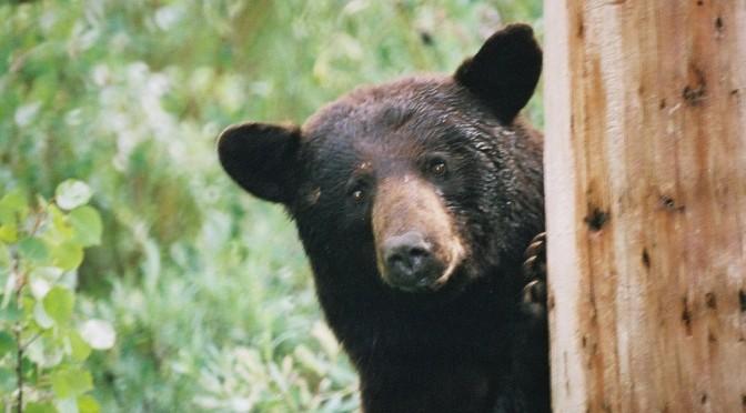 ONE LUCKY BEAR: A Raquette Lake Bear Tale